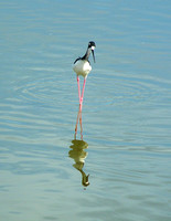 Portratit of Hawaiian Stilt at Kealia Pond