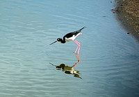 Profile of Hawaiian Stilt at Kealia Pond