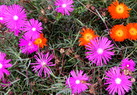 Lampranthus, better known as Mini Ice Plant