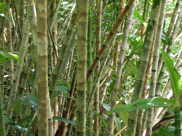 Black Bamboo Stalks, Maui Island, Maui County, Hawaii, photo by Patrick Michael McNally