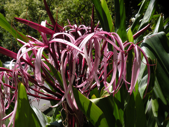 Queen Emma Giant Spider Lily, Maui Island, Maui County, Hawaii, photo by Patrick Michael McNally